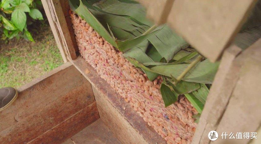 果肉包裹着的可可豆接受露天发酵的洗礼