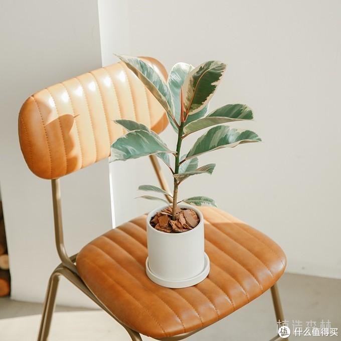 养花秘籍VOL.13:植树节,种小树!推荐5棵适合家养的小树,从此四季都是春天