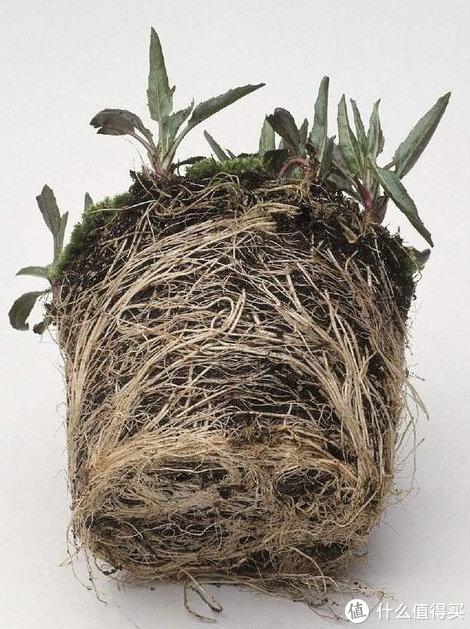 用营养土中,根系发达是毫无难度