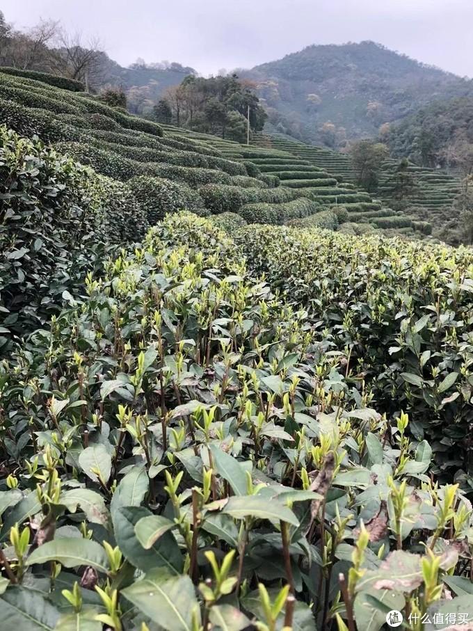 又到一年明前龙井飘香时,2021年最一手春茶购买指北