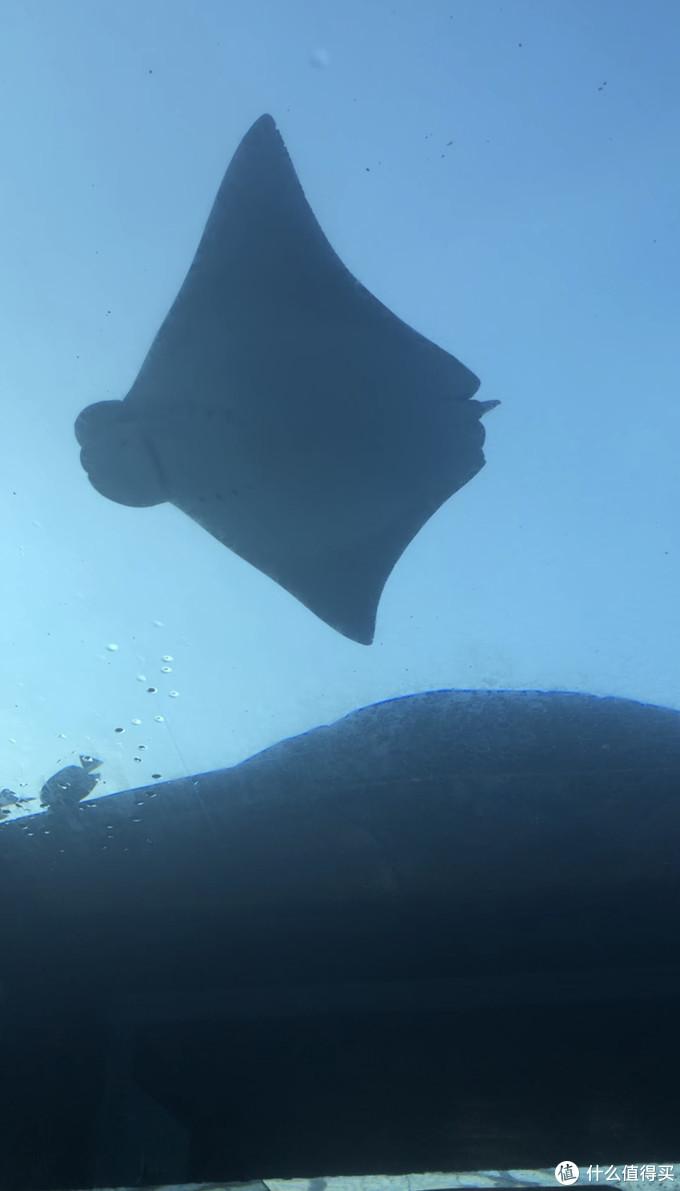 漂流管中窥探蝠鲼