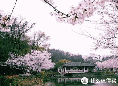最美樱花季,何必远赴!细数大连能够看到樱花的好地方!