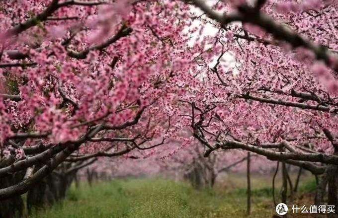 老家的桃花林