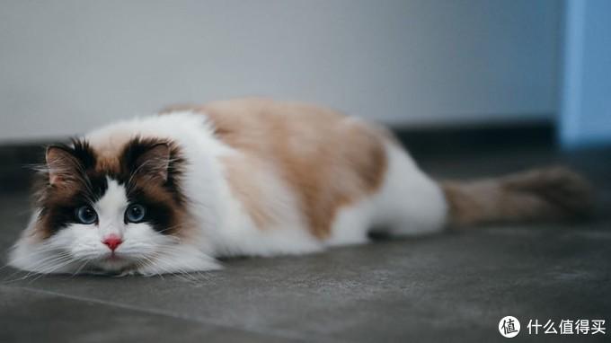 闲鱼里2000买了只布偶猫