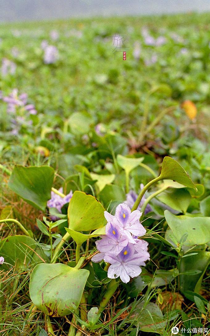 水葫芦开的花还是挺好看的