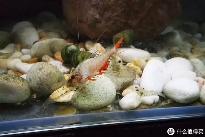 苹果螺吃蔬菜,黑壳虾不除藻,黄米奇生宝宝--我的鱼缸