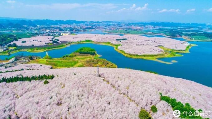 贵州这里的樱花种植面积真的是世界最大吗?