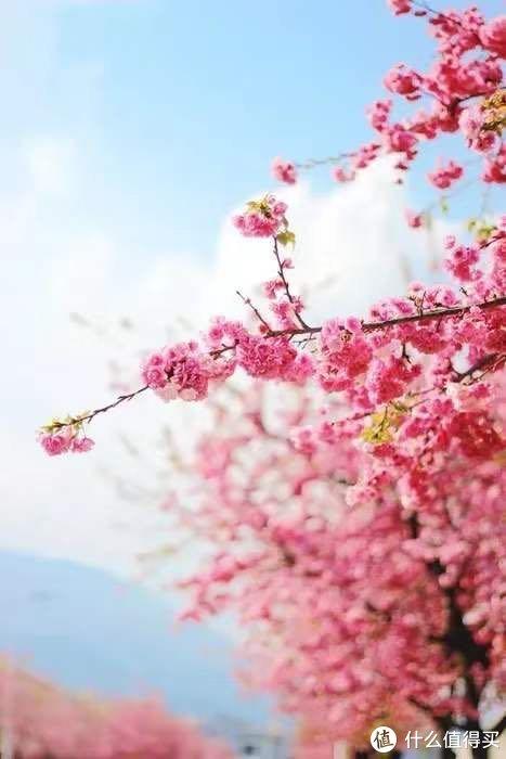 全国赏樱地图出炉!三月花海惹人醉,正是樱花烂漫时