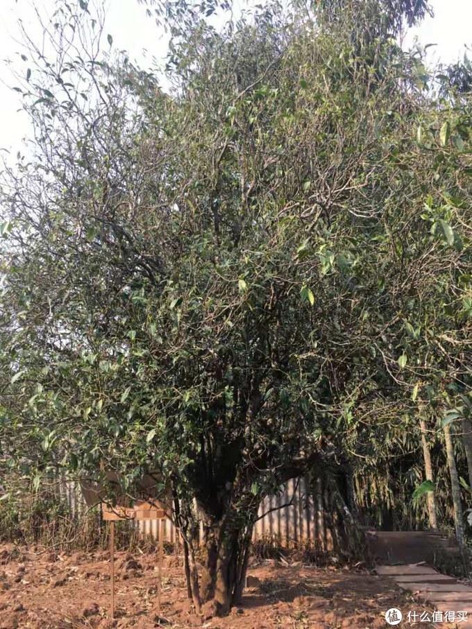 苦竹山古茶树的植株一般都较大,树冠舒张,藤条管养方式