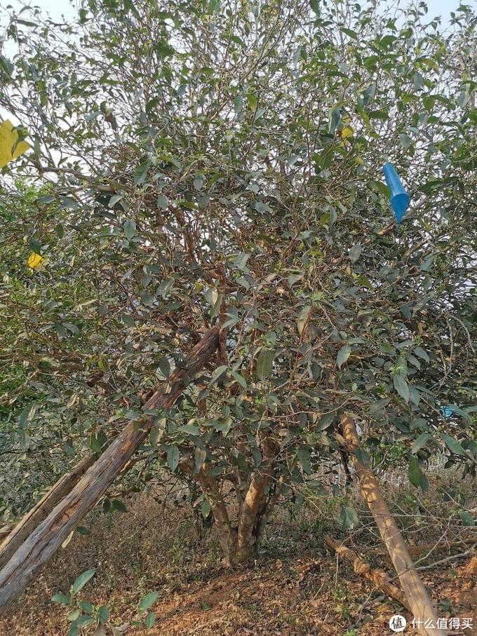百年古茶树