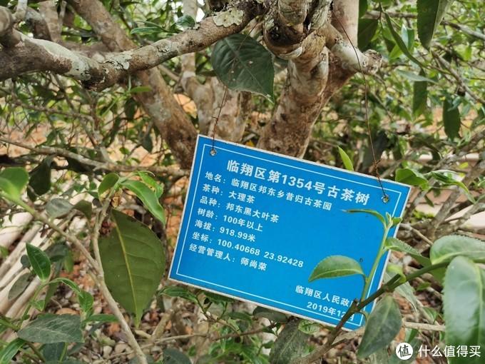 昔归古茶园树种较多,基本为藤条管养方式