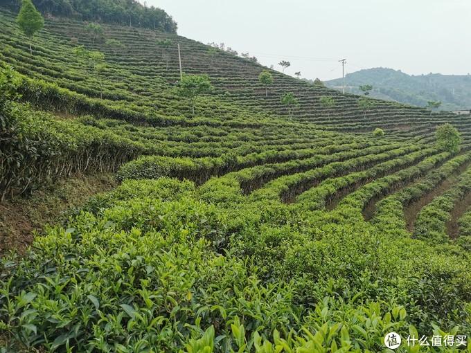 大约40年树龄的密植型生态茶园