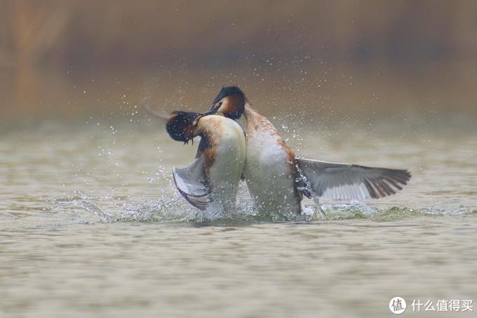 值友带我免费体验索十万打鸟的乐趣—记唐山南湖拍鸟活动