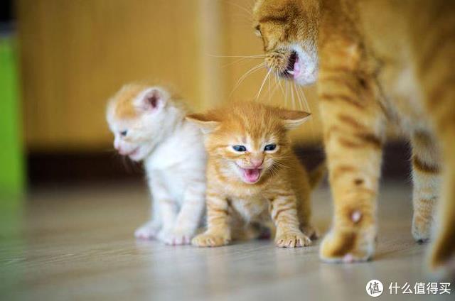 猫咪羊奶粉真的有必要喝吗?