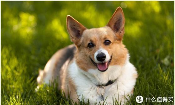 狗狗缺钙就吃狗狗钙片!