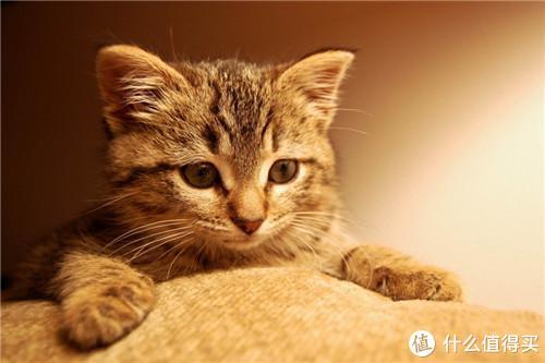 猫咪小知识:如何预防猫掉毛?