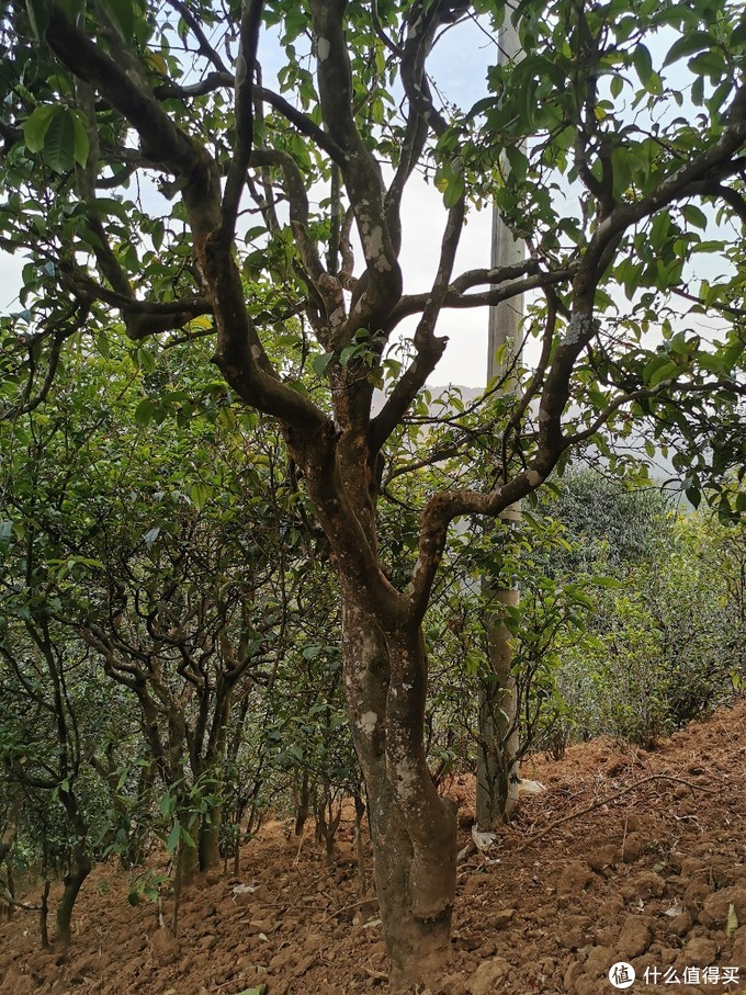 古茶树树形