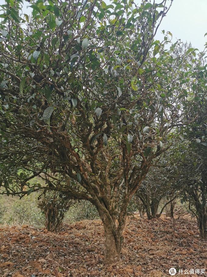 """绝大多数古树都经过""""砍头"""",植株并不高,但枝叶繁茂"""