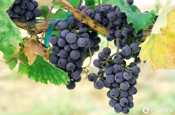 """搞懂最常见""""红葡萄酒""""酿造品种,从认识葡萄开始,酒水扫盲贴(建议收藏)"""