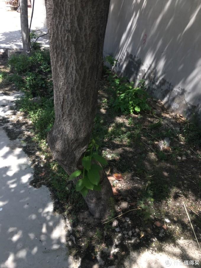 门前杜仲发新芽。在原来被剥去树皮的地方长出来两根树枝。四颗杜仲树是我姥爷当年给带来的树苗,如今已亭亭如盖。就像那个电影《coco》上说的,人会有两次离开,一次是生命的结束,一次是不再有人记得。