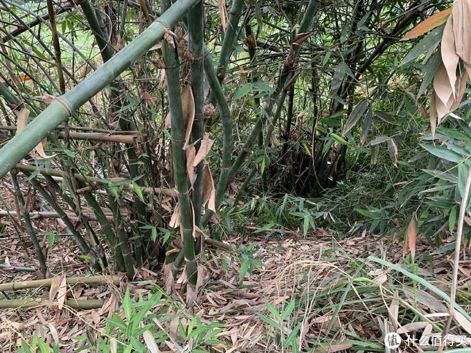 小时候,这种竹子,种植的目的就是挖笋卖钱;现在少种了,一来难挖废力,二来地越来越少,只有零星种植。现在的主要作用是攀爬作物的竹杆。