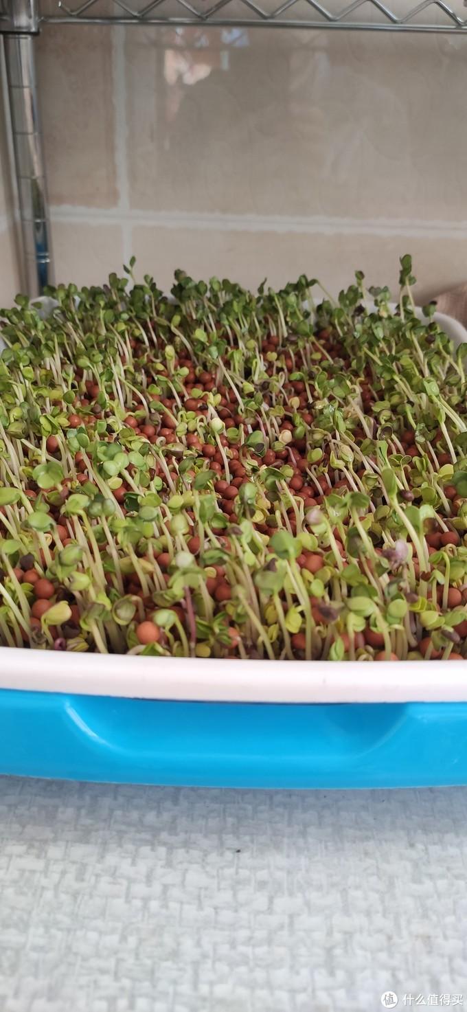 培养小朋友的兴趣之二~~~~~绿植的种植