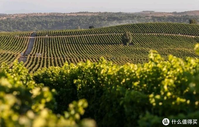 干露酒庄葡萄种植园