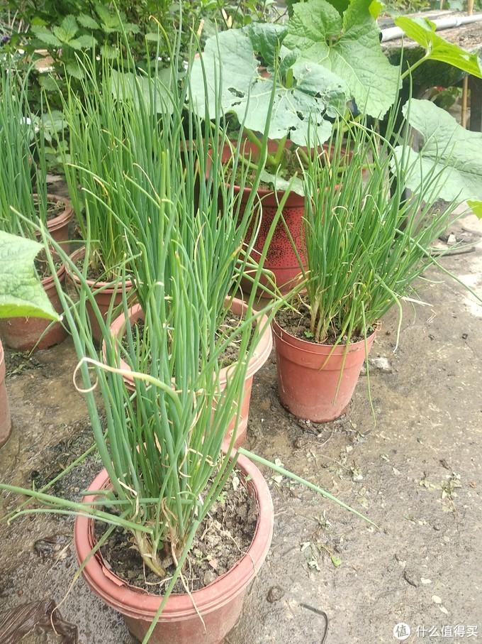 阳光不需要太多,这个植物怕热,氮肥给足够,长势会不错,但是这个还不够绿油油,不够好看,但是吃起来也算可以了。