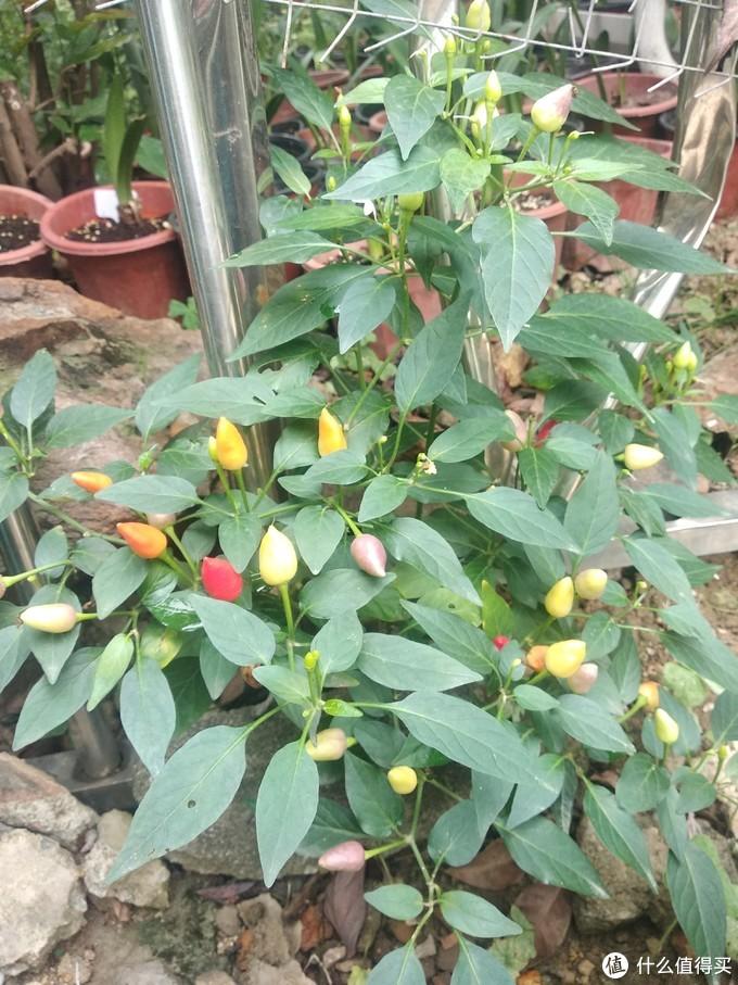 植株较小,完美适合阳台种植,结果数量多