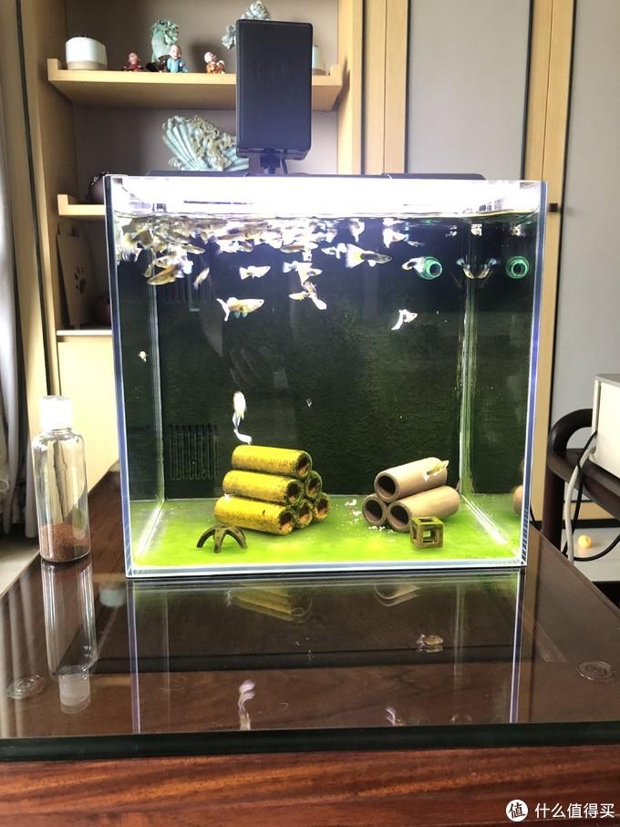正视图:中间是几个躲避罐,底下的绿色和背面的绿色都是藻。养成习惯了这些鱼看到人来就浮上来找吃的。