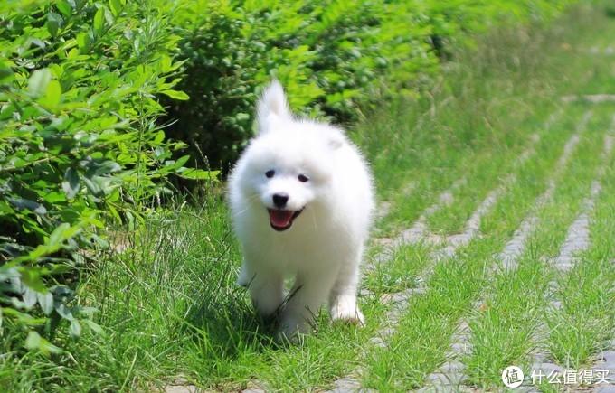 狗狗喝羊奶粉有什么好处?需要注意什么呢?