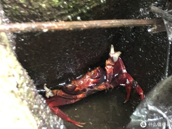 张牙舞爪的灵芝蟹