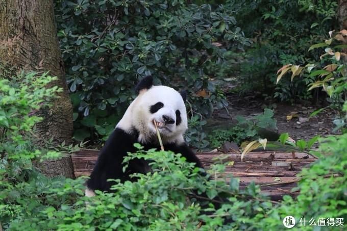 成都大熊猫基地rp