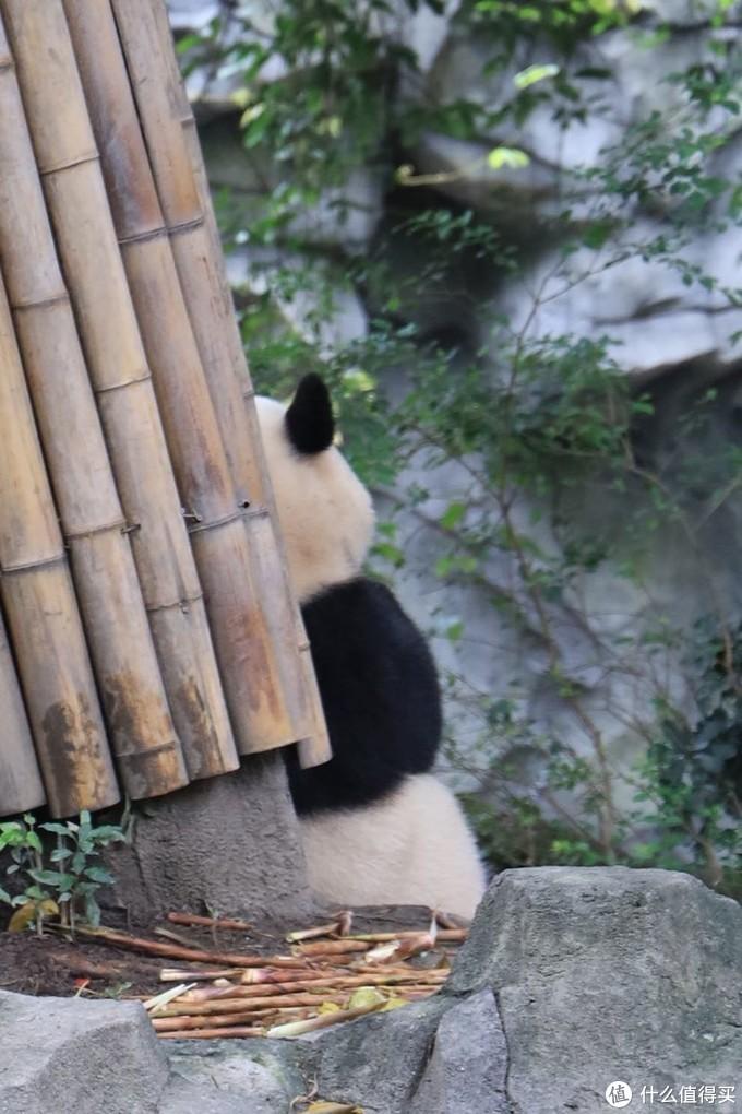 这张真的很逗,自闭熊猫🐼