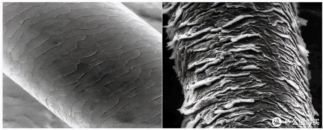 左图为闭合的毛鳞片,右图为受损毛鳞片