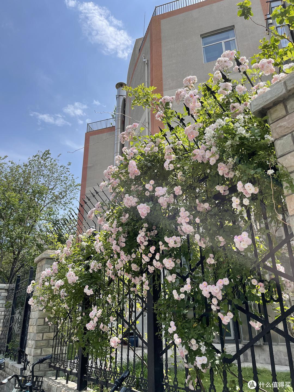 为什么街边绿化带的月季没人管都疯狂开花,家养的月季动不动就死还不开花?