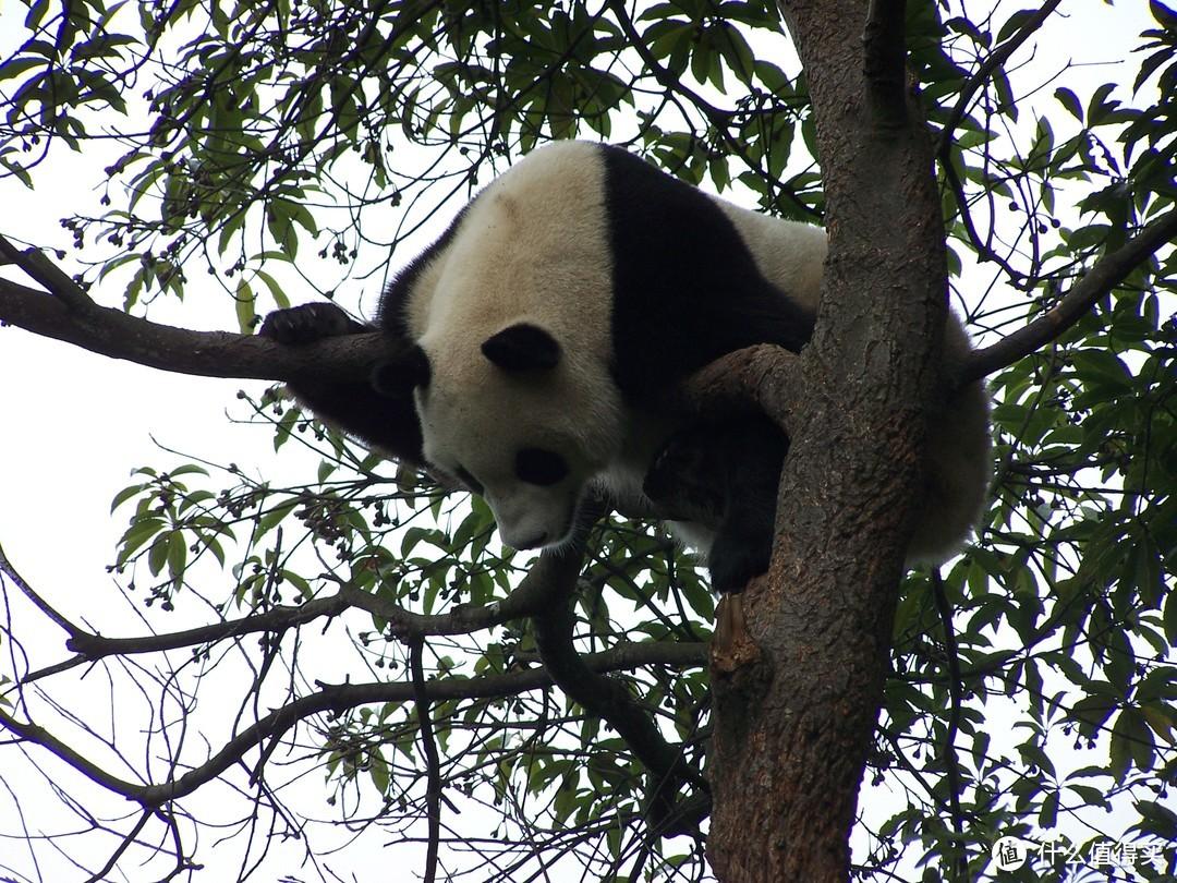 碧峰峡的熊猫