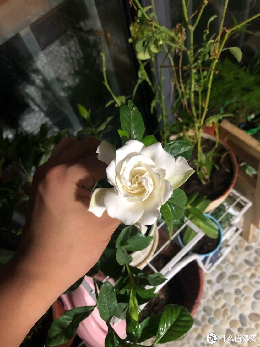 养的第三盆栀子花,终于开花了。这是第二朵。之前老婆说喜欢栀子花就买了两次,伤心了两次!后来媳妇说事不过三,如果再养不好就不准养栀子花了