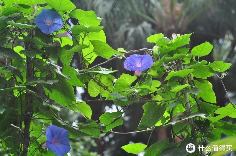 阳台养花系列-介绍不畏夏季炎热金属的攀爬植物