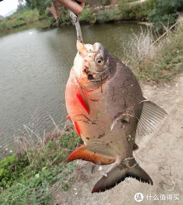 """我们叫它""""切蛋鱼"""",比黑鱼更危险,能咬断鱼线拉爆鱼竿,钓过吗"""