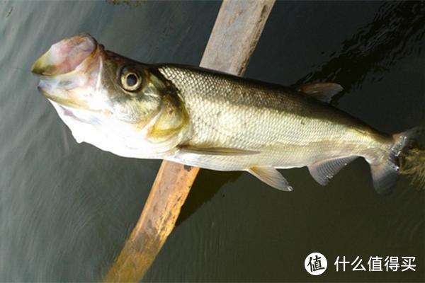 夏季手竿钓翘嘴鱼,把握好这3个细节点,让你一钓一个准