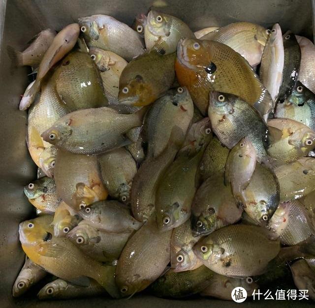 太阳鱼入侵四川,多个水域均有发现,钓鱼人:别着急,今晚加个菜