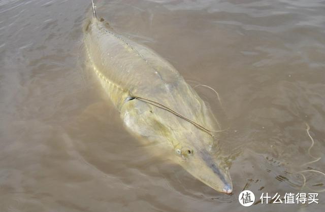 """它是中国最大的淡水鱼,进化了1亿年,却因为太好吃""""栽了跟头"""""""