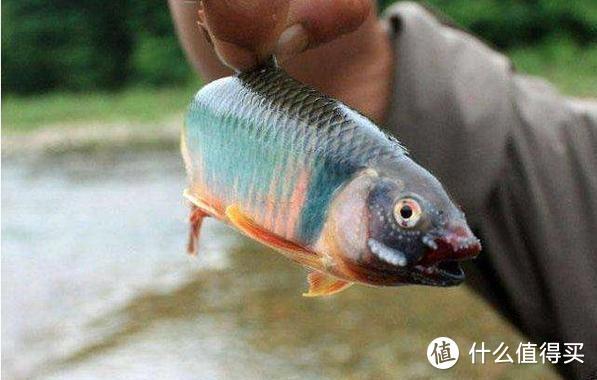 """这种鱼我们叫它""""汉斗"""",有地方叫它""""桃花鱼"""",钓鱼人你见过吗"""