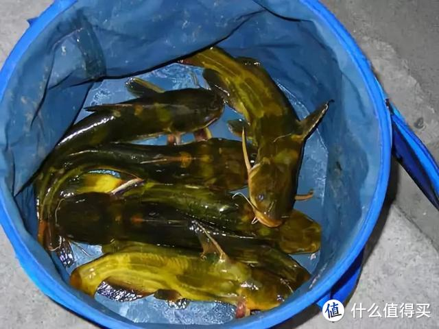 夏季野钓黄颡鱼,这5个细节要把握,渔获满满并不难