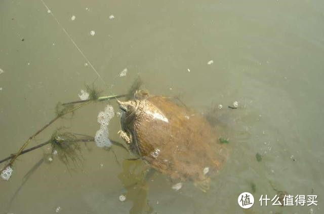 """这种钓法""""又土又懒"""",专钓黑鱼和黄辣丁,偶尔还能遇上大甲鱼"""