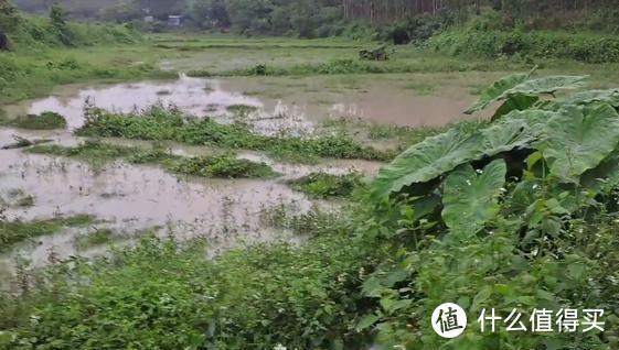 一场大雨后,广西一菜地里面全是鱼,附近大哥:钓鱼不如抓鱼