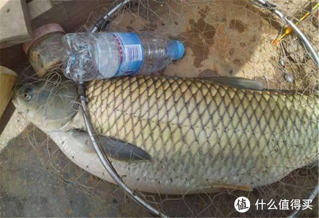 又到了钓草鱼的黄金季节,这2种天然饵料别错过,方便简单效果好