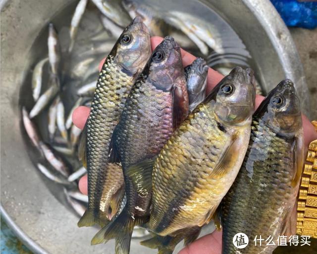 """山里钓了几斤""""稀有货"""",邻居见了想拿去喂鸡,还说这是麦穗鱼"""