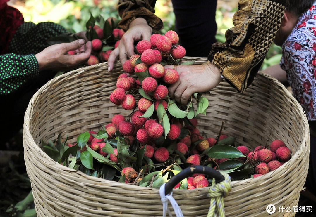 夏天吃荔枝,桂味、妃子笑、糯米糍、三月红谁更值得买?差别大了